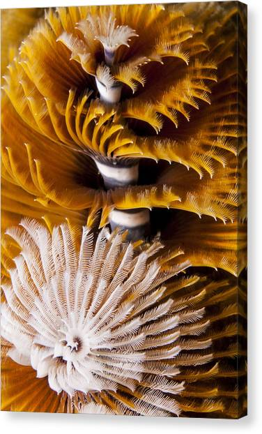 Christmas Tree Worms Canvas Print