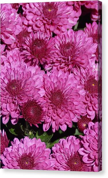 Chrysanthemum 1 Canvas Print