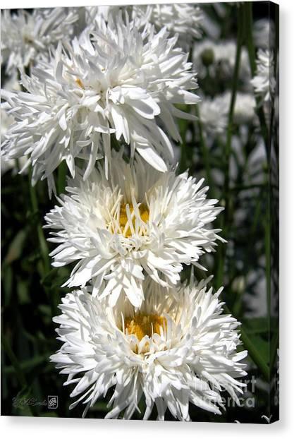 Canvas Print - Chrysanthemum Named Crazy Daisy by J McCombie