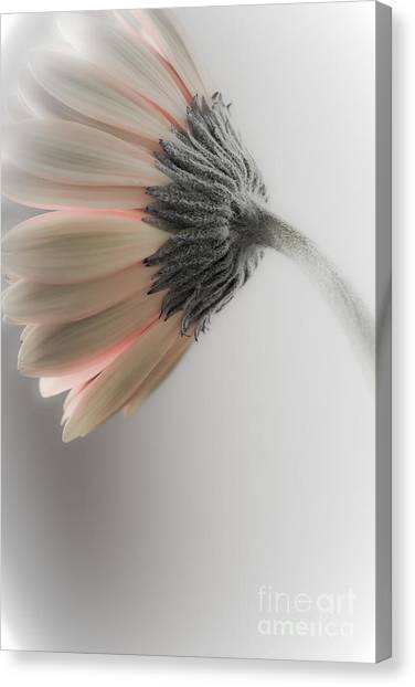 Chrysanthemum Petals 1 Canvas Print