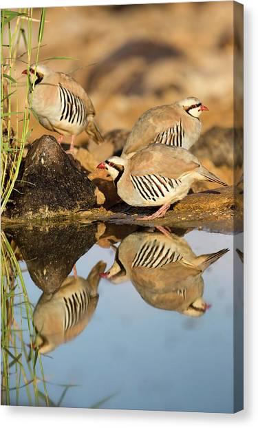 Negev Desert Canvas Print - Chukar Partridge Alectoris Chukar by Photostock-israel