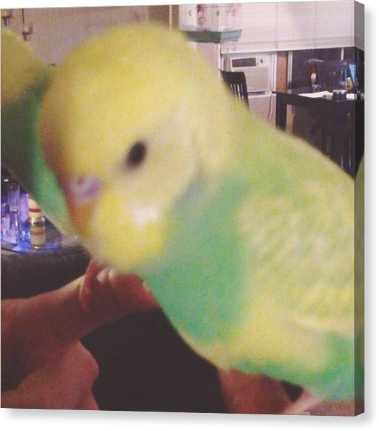 Parakeets Canvas Print - Chulo!! Kiss Kiss!! I'm In Love With by Bella Cupcake