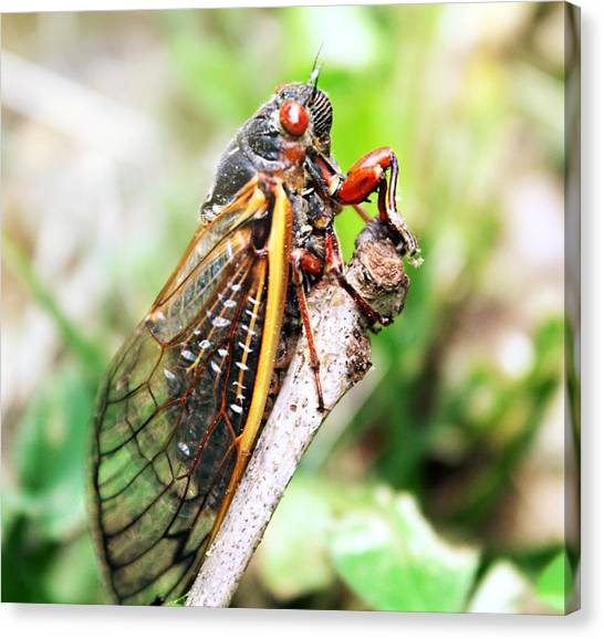 Canvas Print featuring the photograph Cicada by Candice Trimble