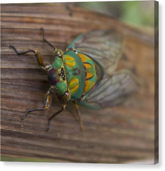 Green Whizzer Cicada Canvas Print by Debbie Cundy