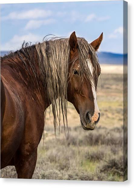 Cimarron - Wild Mustang Stallion Canvas Print