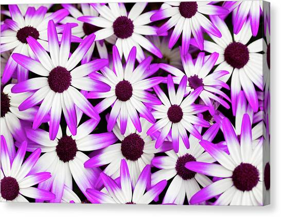 Cineraria Senetti Canvas Print by Andrew Dernie