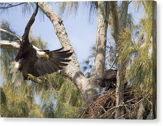 Bald Eagle Nest Canvas Print