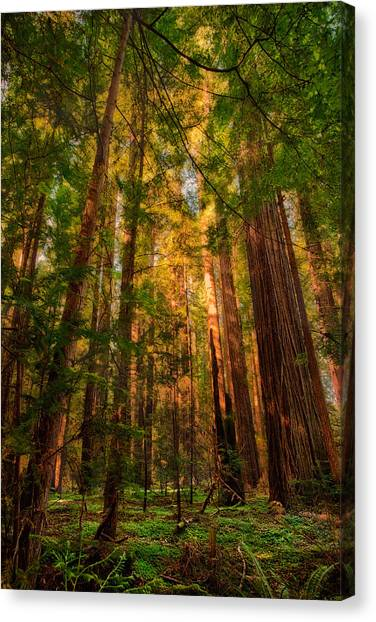 Redwood Forest Canvas Print - Circle Of Light - California Redwoods by Dan Carmichael