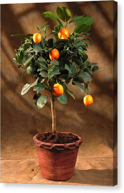 Orange Tree Canvas Print - Citrus Microcarpa Hp. by The Picture Store/science Photo Library