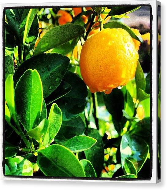 Orange Tree Canvas Print - #citrus#tree#orange#nature#iphone4s by Wendy Van Oosterom