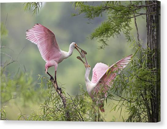 Spoonbills Canvas Print - Clacking Bills by Bonnie Barry