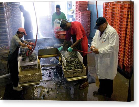 Clams Canvas Print - Clams Being Cleaned by Food & Drug Administration