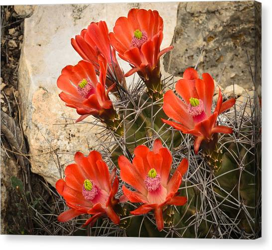 Claret Cups Canvas Print by Thomas Pettengill