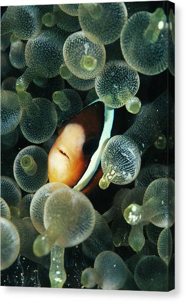 Anemonefish Canvas Print - Clark's Anemonefish by Matthew Oldfield/science Photo Library