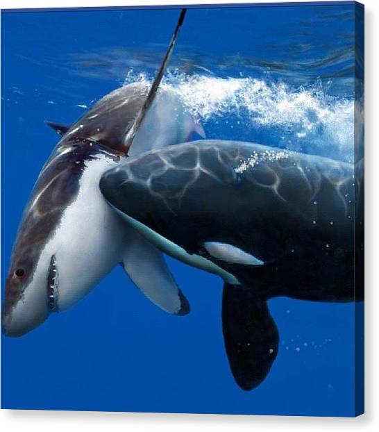 Orcas Canvas Print - Clash Of The Titans - #orca by Nikhil Pritmani
