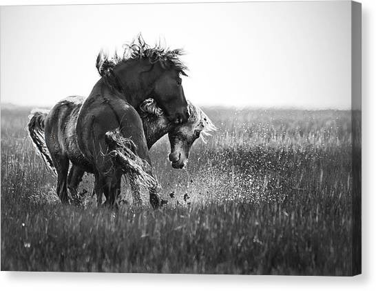 Clash Of Two Wild Stallions Canvas Print