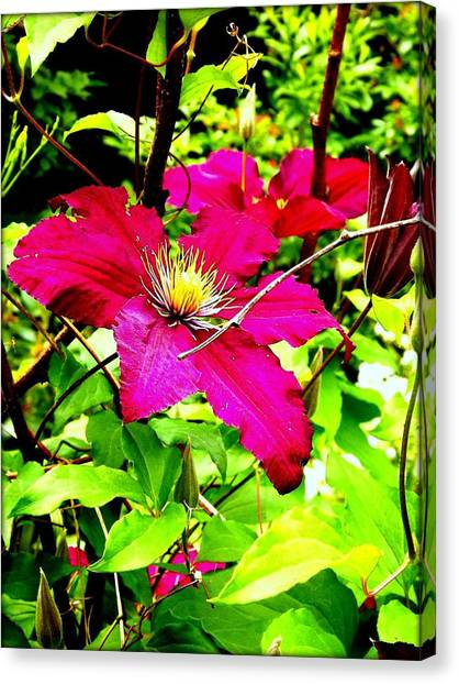 Clematis Canvas Print by Dancingfire Brenda Morrell