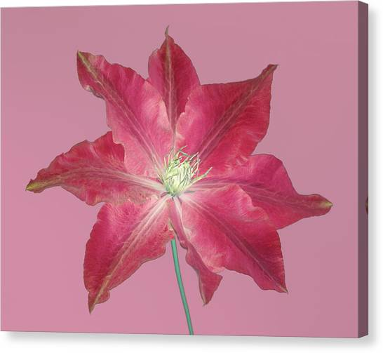 Clematis In Gentle Shades Of Red And Pink. Canvas Print by Rosemary Calvert