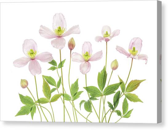 Summer Flowers Canvas Print - Clematis by Mandy Disher