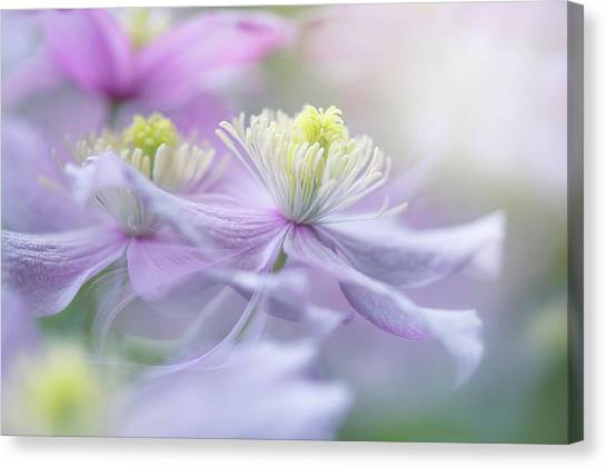 Clematis 'mayleen' Canvas Print by Jacky Parker
