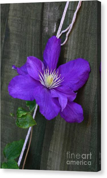 Clematis On A String Canvas Print