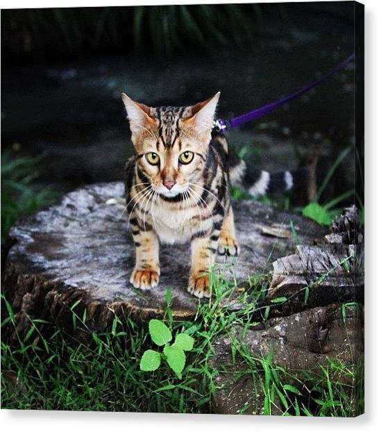 Bengals Canvas Print - Cleo On An Adventure Down By The Creek by Lana Houlihan