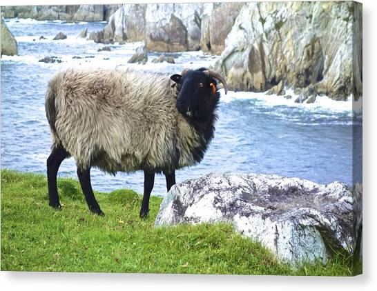 Clew Bay Sheep Canvas Print
