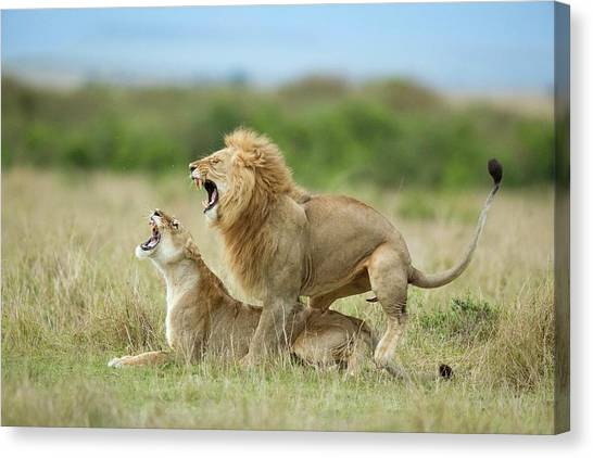 Kenyan Canvas Print - Climax ..... After The Mating by Roshkumar