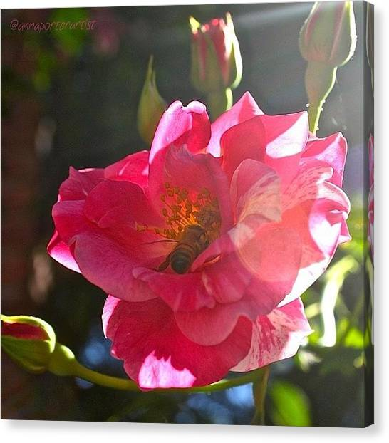 Red Roses Canvas Print - Climbing Rose And Bumble Bee by Anna Porter