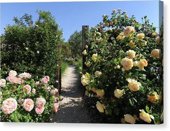 Climbing Roses In Full Bloom, Marnes Canvas Print by Josie Elias
