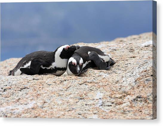 Close Bonds, African Penguin Canvas Print