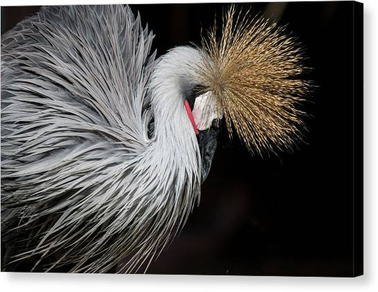 Close Portrait Of A Grey Crowned Crane Canvas Print by © Santiago Urquijo