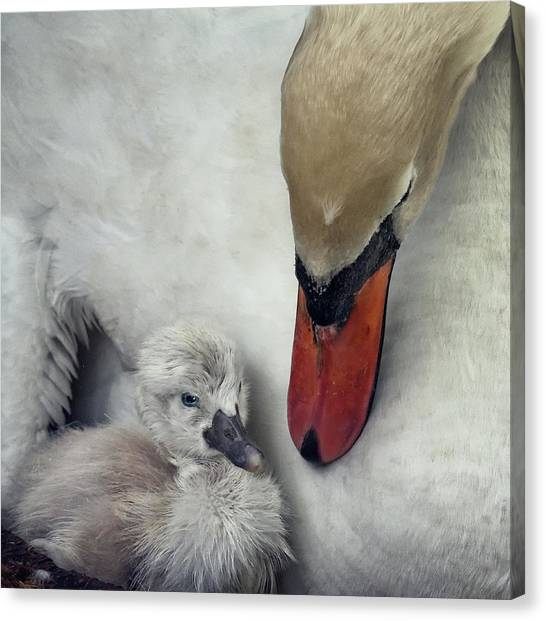 Swan Canvas Print - Close To You by Piet Flour