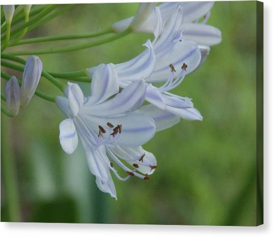 Close Up - African Lily Canvas Print by Annette Allman
