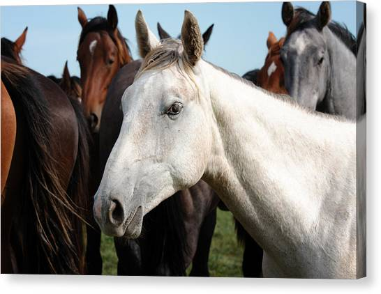 Close-up Herd Of Horses. Canvas Print