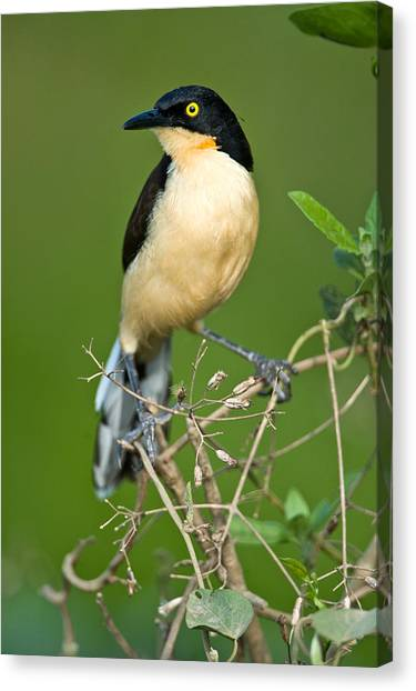 The Pantanal Canvas Print - Close-up Of A Black-capped Donacobius by Panoramic Images
