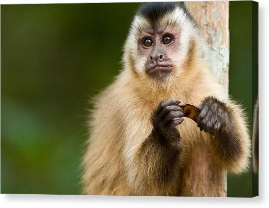 The Pantanal Canvas Print - Close-up Of A Brown Capuchin Cebus by Panoramic Images