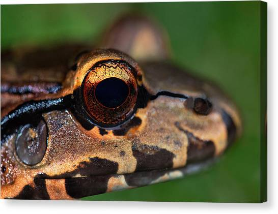 Bullfrog Canvas Print - Close-up Of A Bullfrog, Tortuguero by Panoramic Images