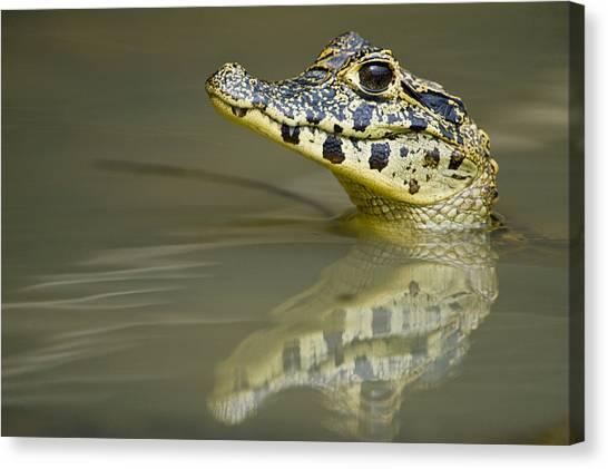 The Pantanal Canvas Print - Close-up Of A Caiman In Lake, Pantanal by Panoramic Images