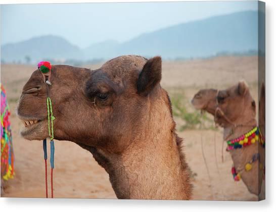 Thar Desert Canvas Print - Close-up Of A Camel, Pushkar by Inger Hogstrom