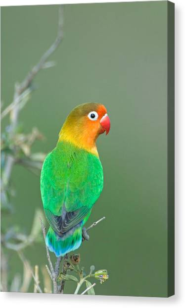 Lovebirds Canvas Print - Close-up Of A Fischers Lovebird by Panoramic Images