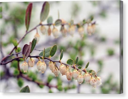 Cabot Trail Canvas Print - Close Up Of A Flowering Leatherleaf by Darlyne A. Murawski