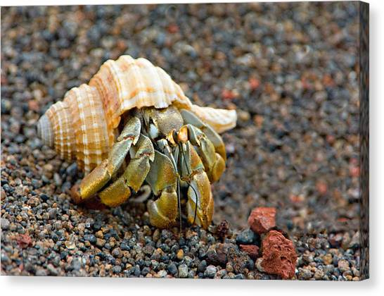 Galapagos Islands Canvas Print - Close-up Of A Hermit Crab Coenobita by Panoramic Images