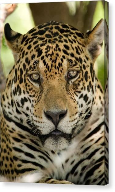 The Pantanal Canvas Print - Close-up Of A Jaguar Panthera Onca by Panoramic Images