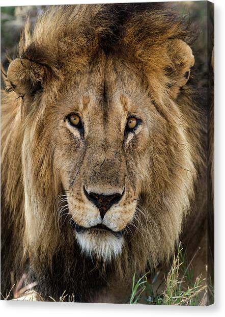 Close-up Of A Lion, Serengeti Canvas Print by Life On White