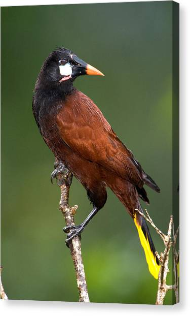 Arenal Volcano Canvas Print - Close-up Of A Montezuma Oropendola by Panoramic Images