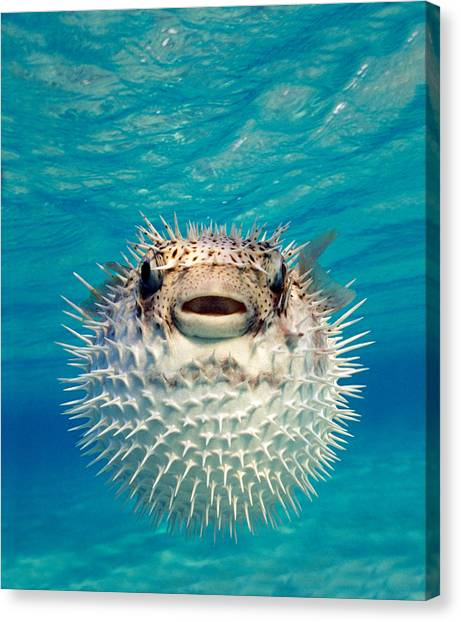 Close-up Of A Puffer Fish, Bahamas Canvas Print