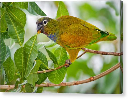 The Pantanal Canvas Print - Close-up Of A Scaly-headed Parrot by Panoramic Images