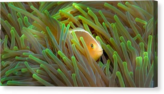 Anemonefish Canvas Print - Close-up Of A Skunk Anemone Fish by Panoramic Images