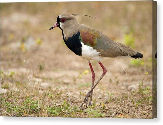Lapwing Canvas Print - Close-up Of A Southern Lapwing Vanellus by Panoramic Images